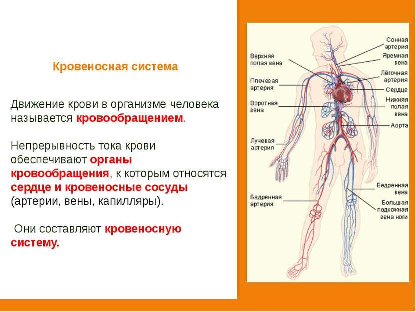 Кровеносная система Движение крови в организме человека называется кровообращ...