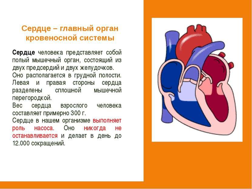 Сердце человека представляет собой полый мышечный орган, состоящий из двух пр...
