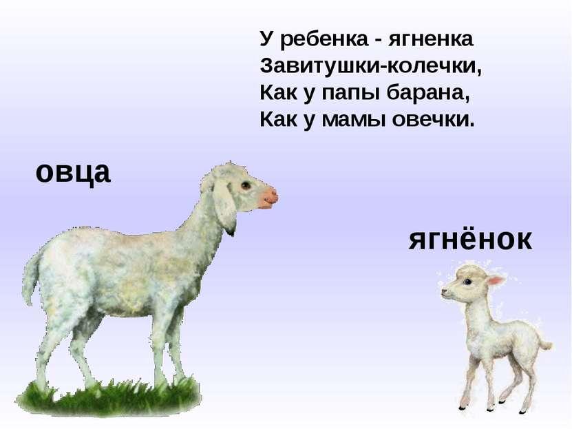 овца ягнёнок У ребенка - ягненка Завитушки-колечки, Как у папы барана, Как у ...