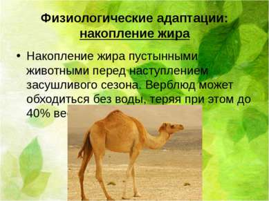 Физиологические адаптации: накопление жира Накопление жира пустынными животны...