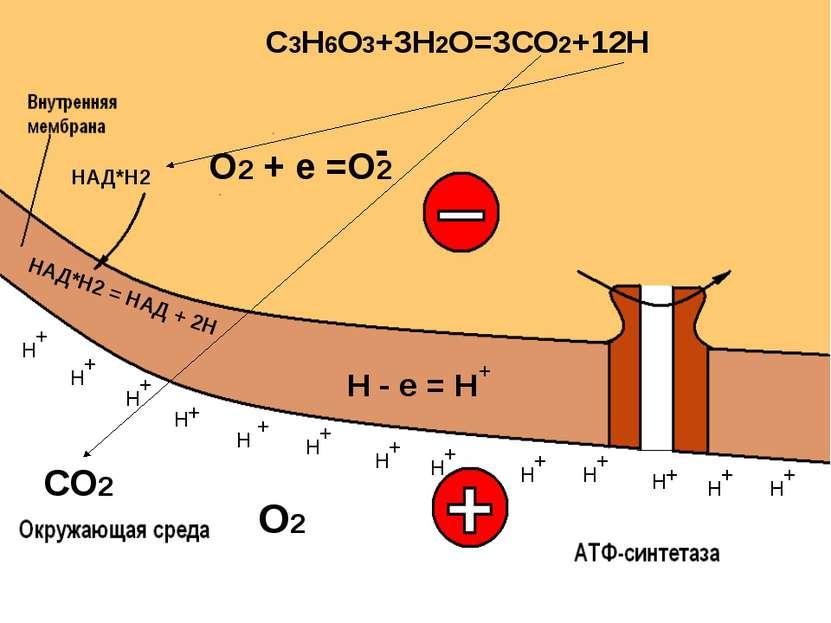 Выделение энергии: 2600 кДж - на 2 моля С3Н6О3 45% Рассеивается в виде тепла ...