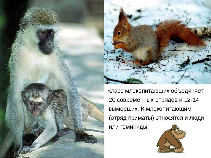 Класс млекопитающих объединяет 20 современных отрядов и 12-14 вымерших. К мле...