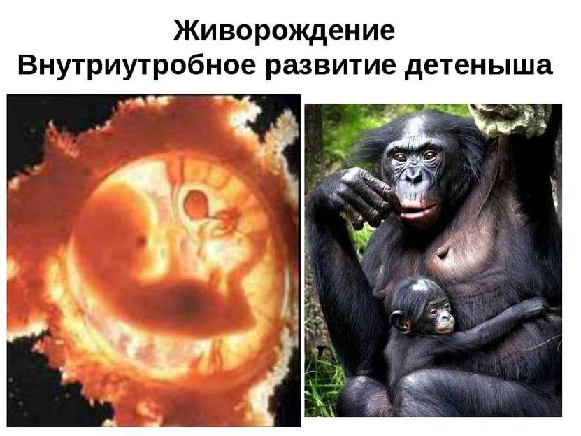 Живорождение Внутриутробное развитие детеныша