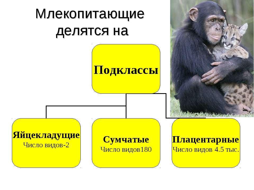 Млекопитающие делятся на