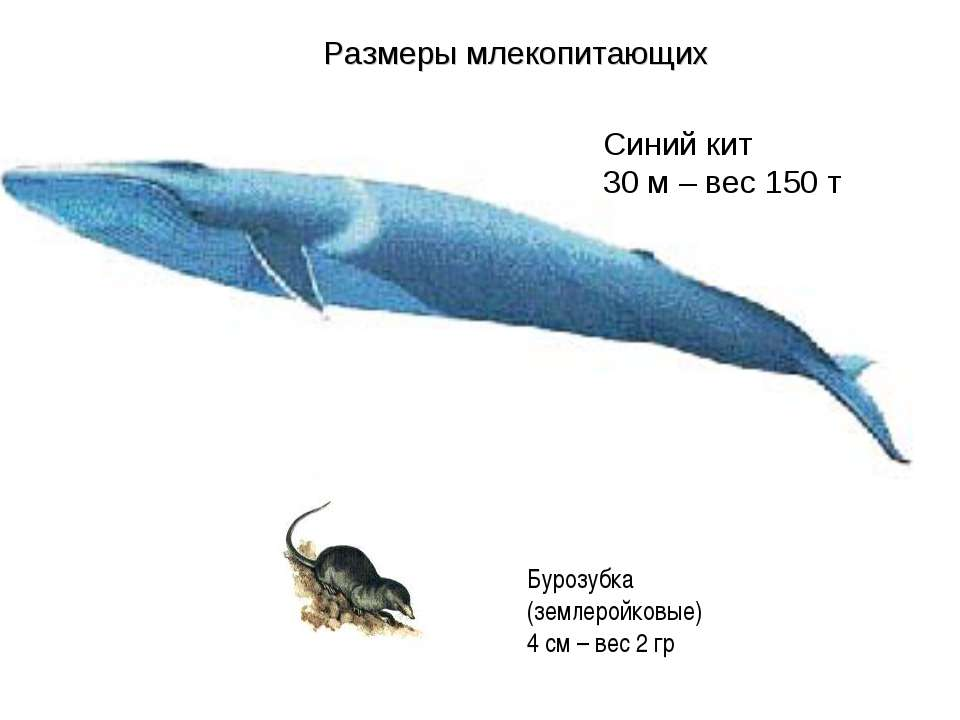 Синий кит 30 м – вес 150 т Бурозубка (землеройковые) 4 см – вес 2 гр Размеры ...