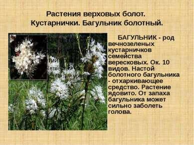 Растения верховых болот. Кустарнички. Багульник болотный. БАГУЛЬНИК - род веч...