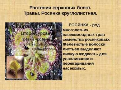 Растения верховых болот. Травы. Росянка круглолистная. РОСЯНКА - род многолет...