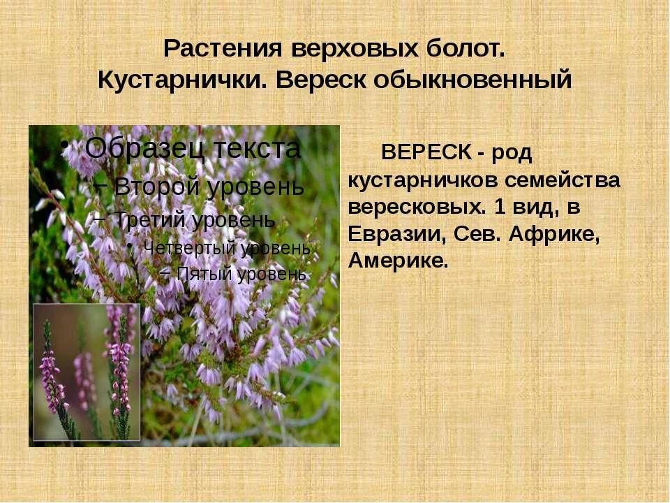 Растения верховых болот. Кустарнички. Вереск обыкновенный ВЕРЕСК - род кустар...
