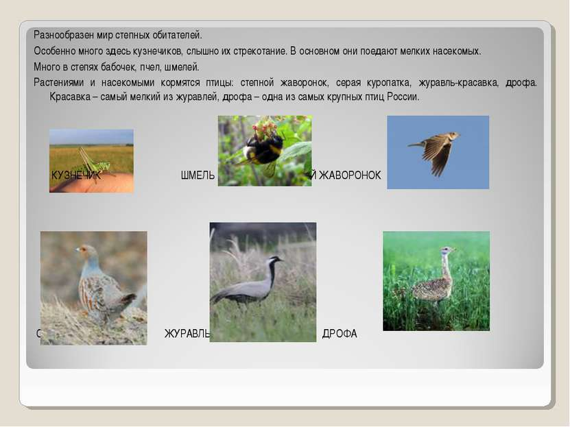 Разнообразен мир степных обитателей. Особенно много здесь кузнечиков, слышно ...