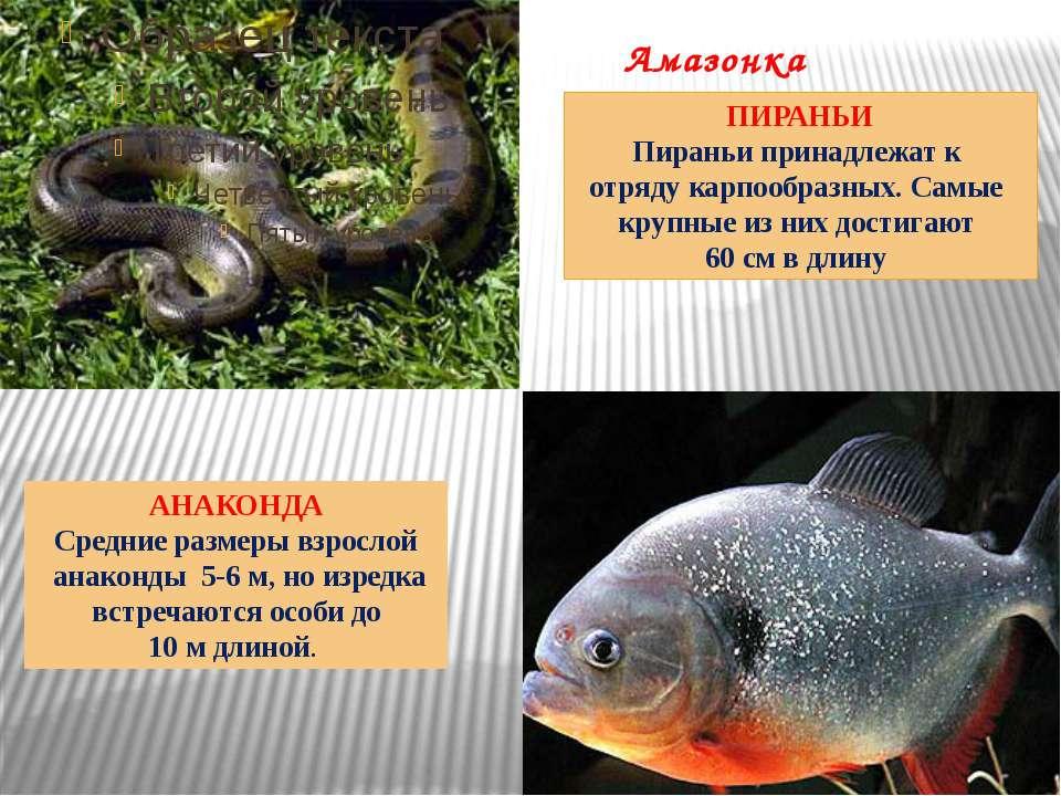 Амазонка Здесь обитают и другие хищники: скаты-хвостоколы, вооруженные острым...