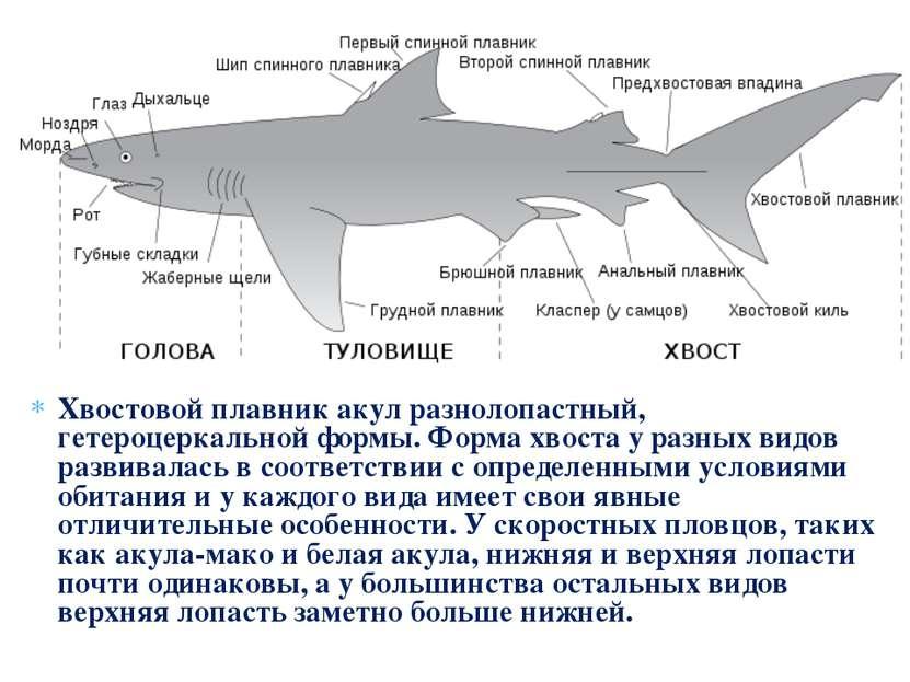 Хвостовой плавник акул разнолопастный, гетероцеркальной формы. Форма хвоста у...
