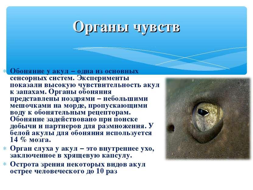 Обоняние у акул − одна из основных сенсорных систем. Эксперименты показали вы...