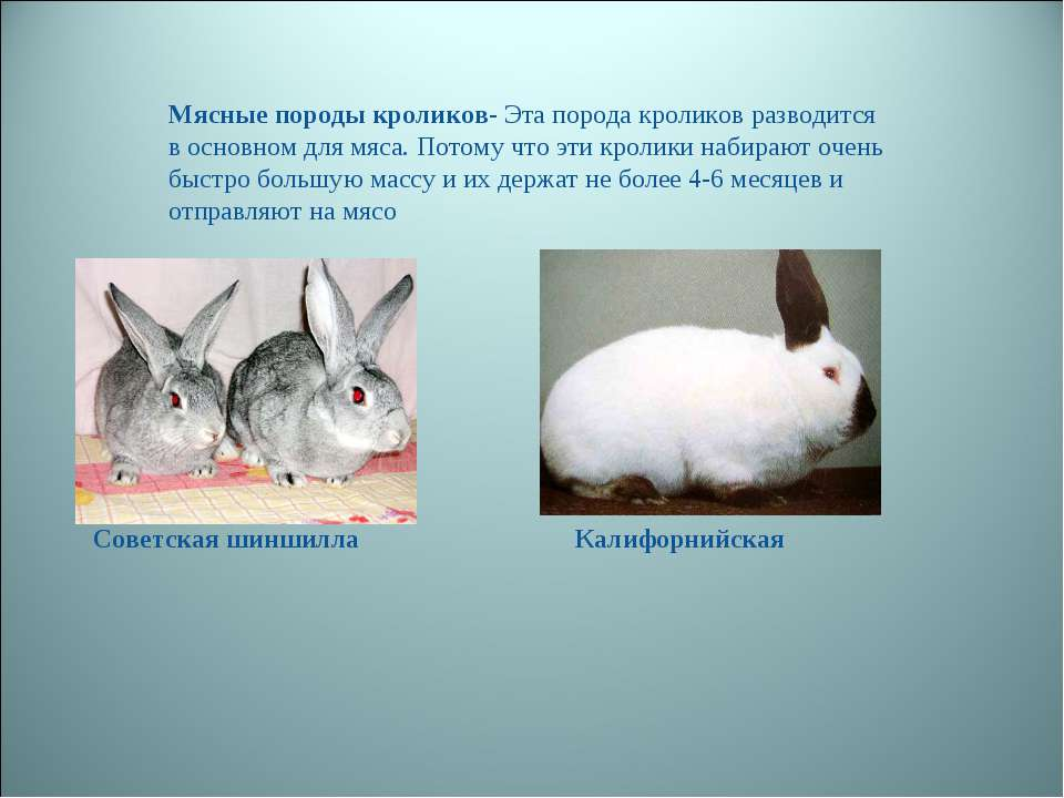 Мясные породы кроликов- Эта порода кроликов разводится в основном для мяса. П...