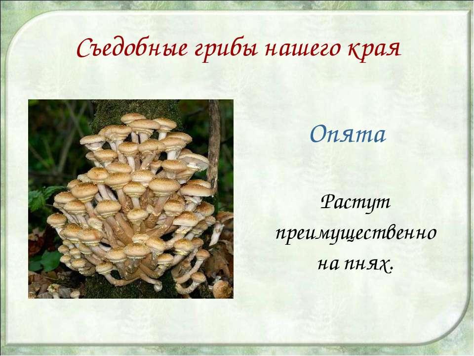 Съедобные грибы нашего края Опята Растут преимущественно на пнях.