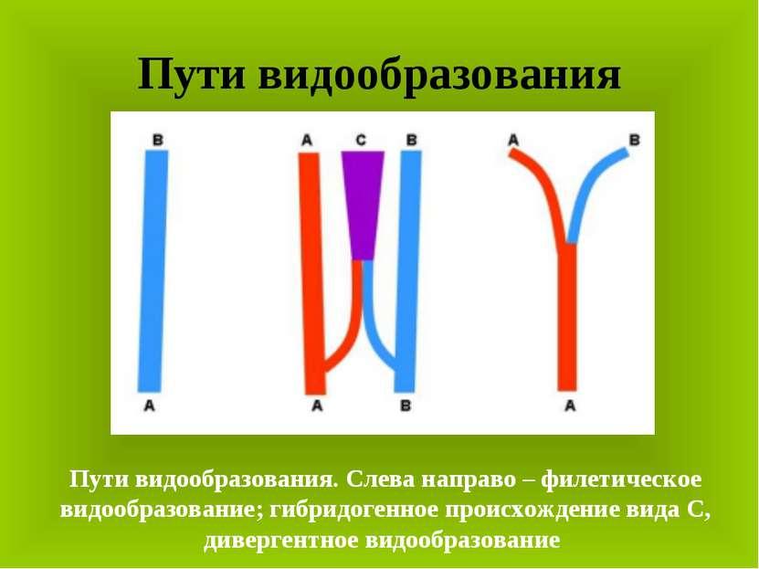 Пути видообразования Пути видообразования. Слева направо – филетическое видоо...