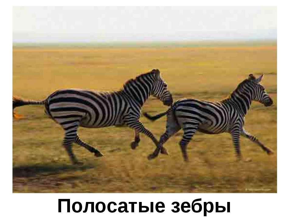 Полосатые зебры