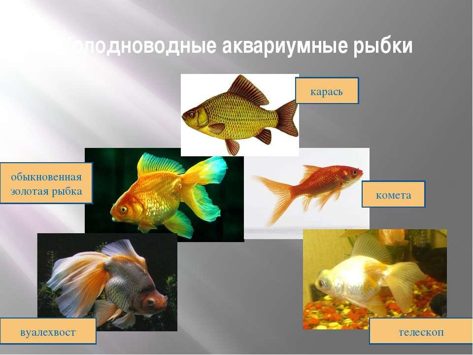 Холодноводные аквариумные рыбки карась комета обыкновенная золотая рыбка вуал...