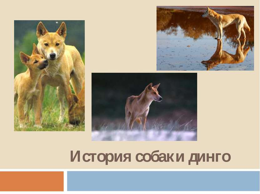 История собаки динго