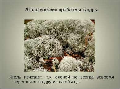 Экологические проблемы тундры Ягель исчезает, т.к. оленей не всегда вовремя п...