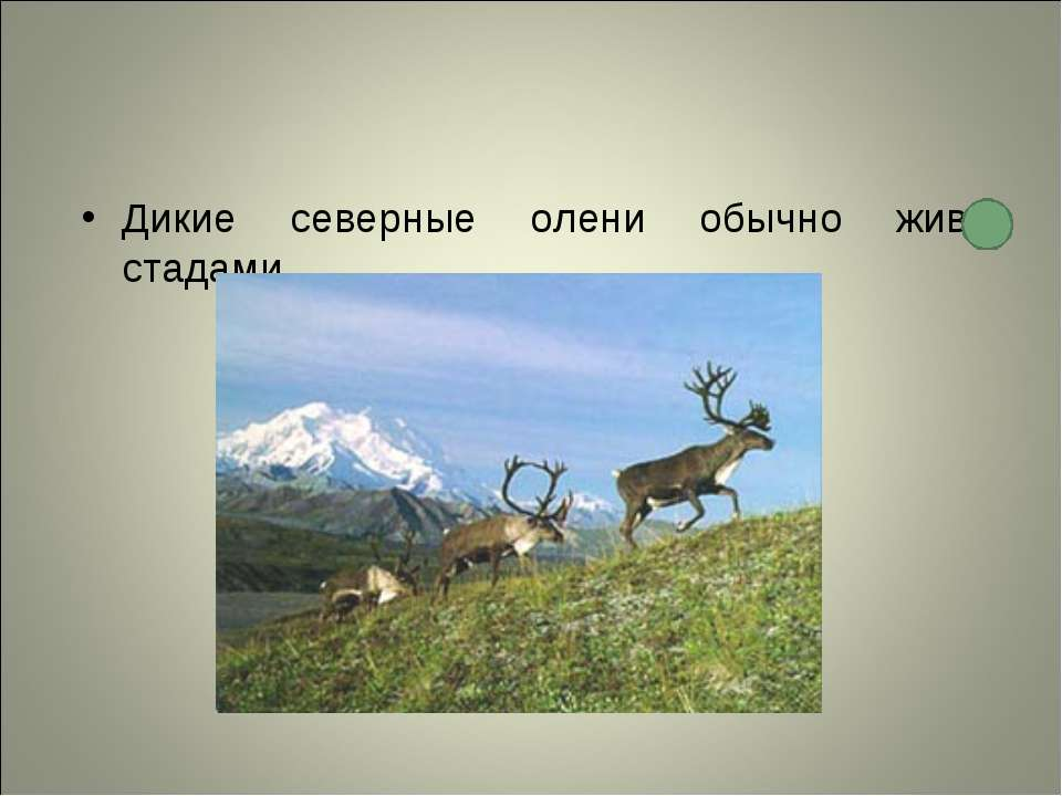 Дикие северные олени обычно живут стадами.