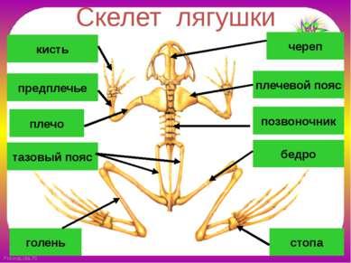 Скелет лягушки позвоночник череп плечевой пояс плечо предплечье кисть бедро т...