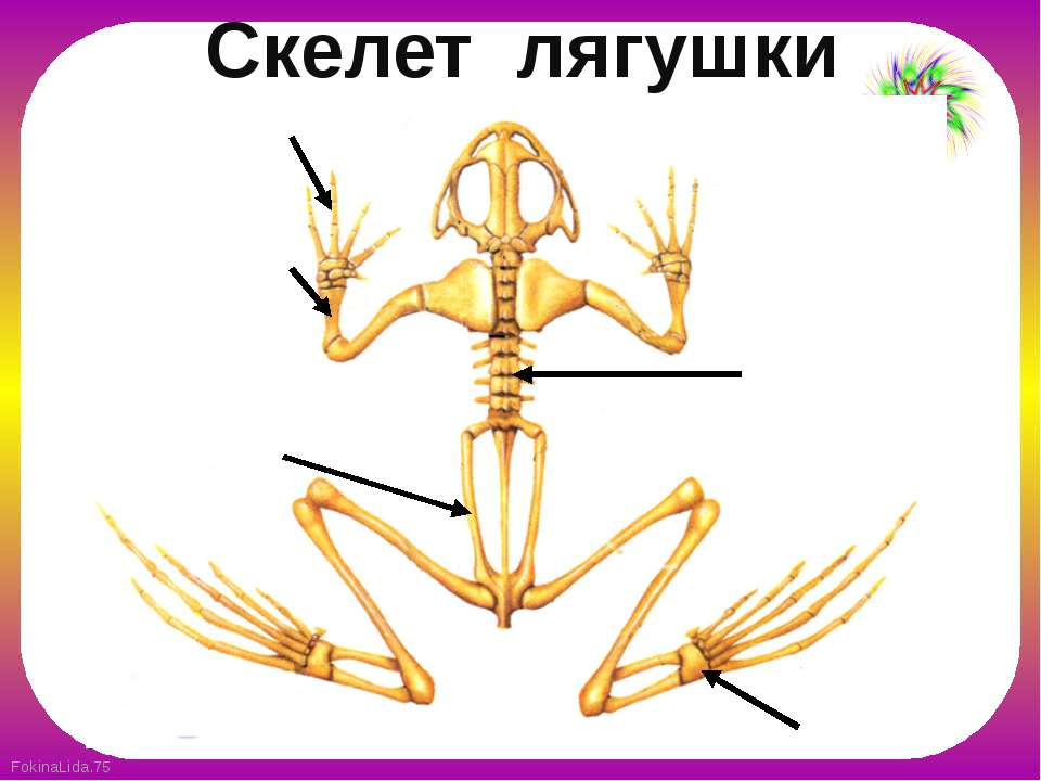 Скелет лягушки FokinaLida.75