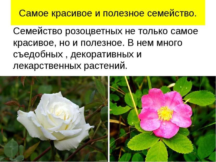 Самое красивое и полезное семейство. Семейство розоцветных не только самое кр...