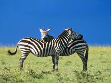 """Зебры очень похожи на лошадей, вот только """"костюмчик"""" у них особенный - полос..."""
