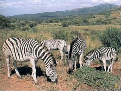 А это горная зебра
