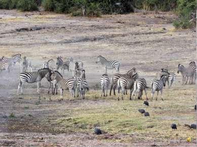 Зебры живут целыми семьями - табунами. Когда они вместе им легче защитится от...