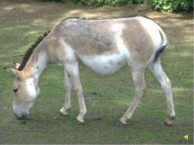 Кулан похож одновременно и на осла и на лошадь.