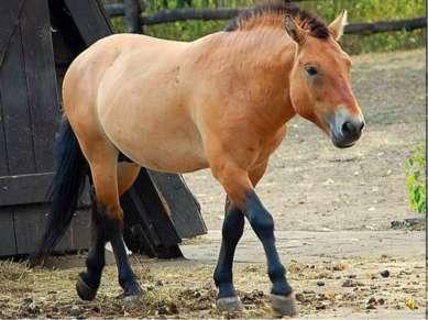 Эта дикая лошадь называется – лошадь Пржевальского.