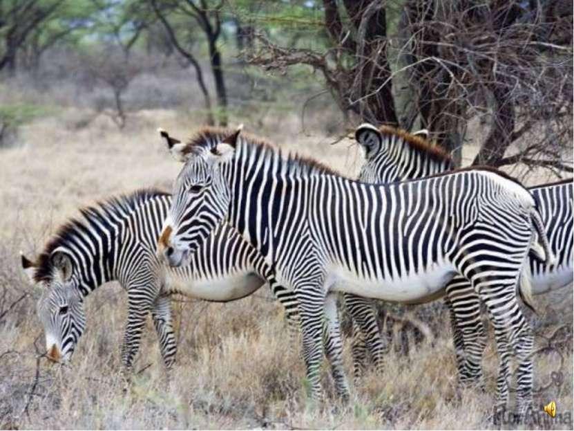 Это зебра пустынная