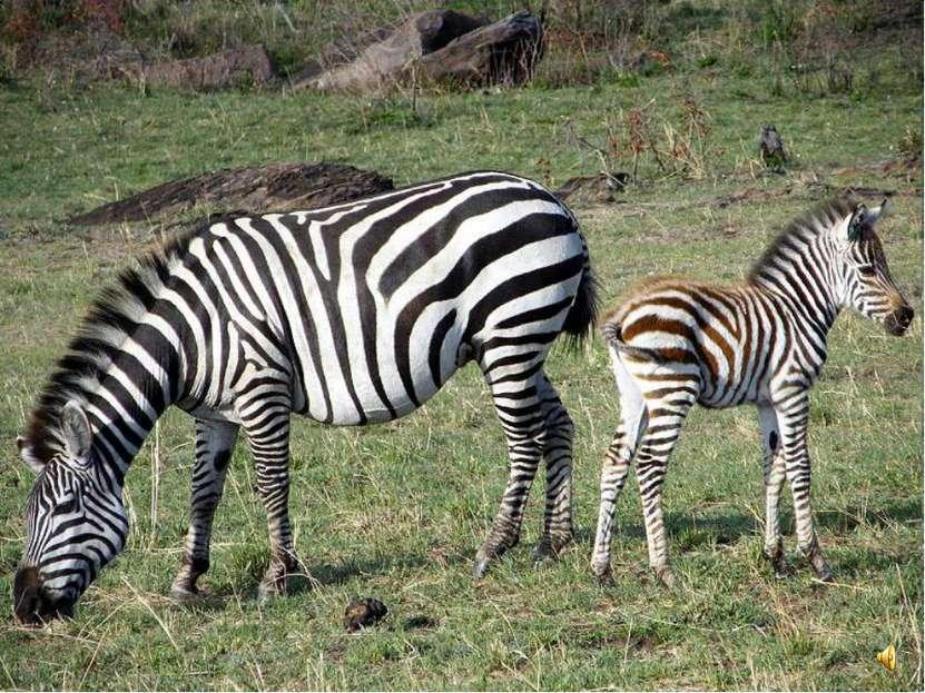 Детёныша зебры тоже называют жеребёнком. Маленькие зебры уже через полчаса по...