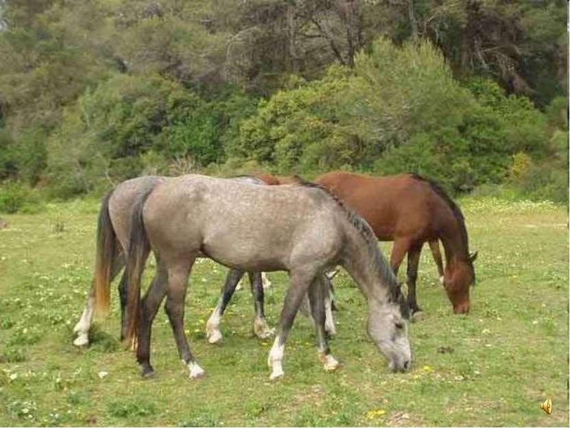 Лошади - очень мирные существа. Они дружат с коровами и овцами и вместе с ним...