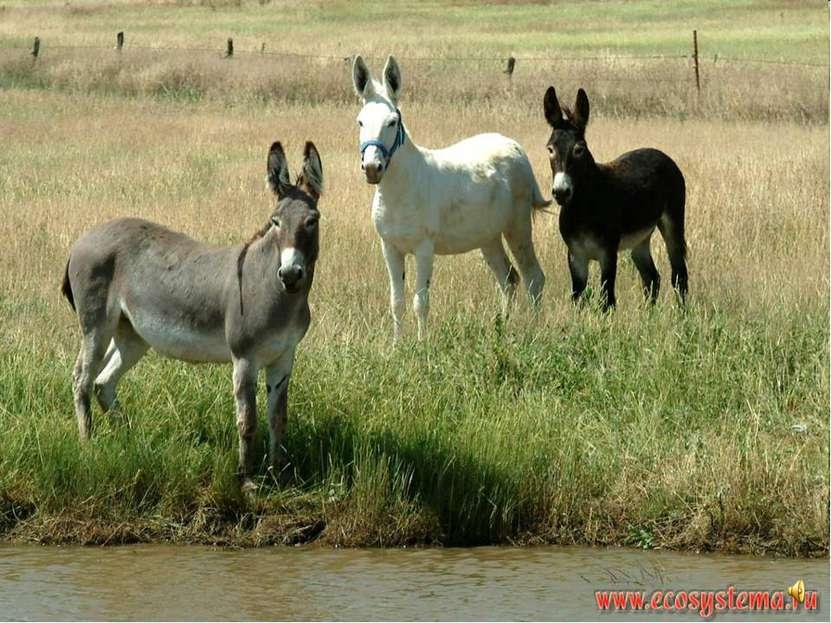 Осёл тоже относится к семейству лошадиных. Он невысокого роста и больше похож...