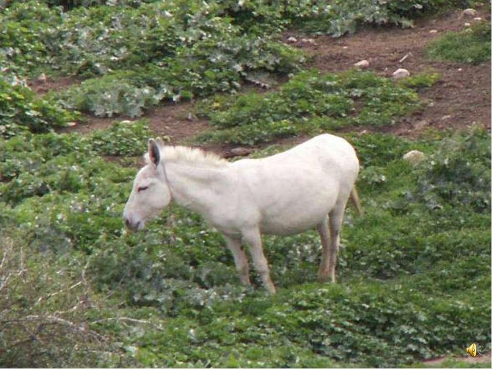 Окраска у этих животных может быть разная - ослы бывают белые, коричневые, чё...