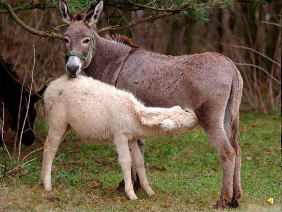 Детёныш у ослов называется ослёнок.