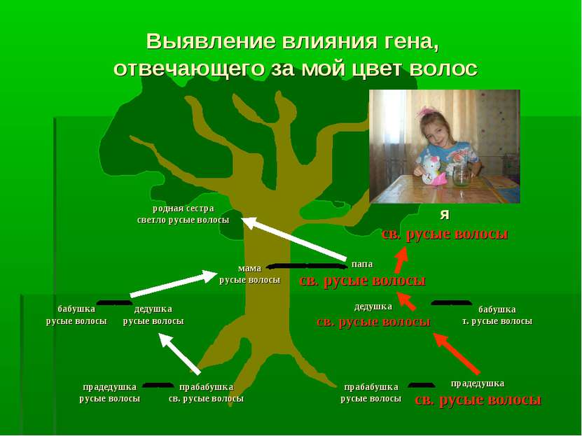 папа св. русые волосы прадедушка русые волосы Выявление влияния гена, отвечаю...