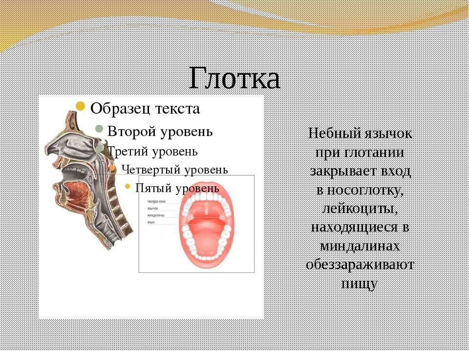 Глотка Небный язычок при глотании закрывает вход в носоглотку, лейкоциты, нах...