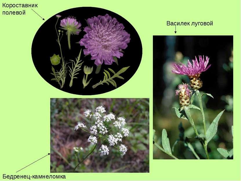 Короставник полевой Бедренец-камнеломка Василек луговой