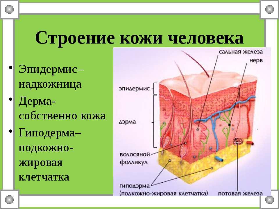 Строение кожи человека Эпидермис– надкожница Дерма- собственно кожа Гиподерма...