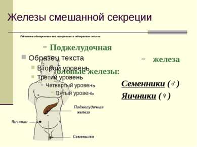 Железы смешанной секреции Работают одновременно как экзокринные и эндокринные...
