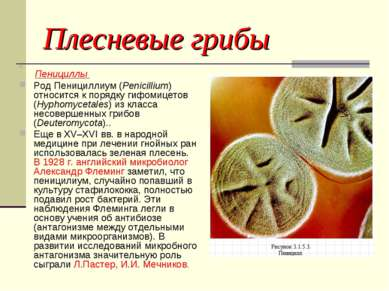 Плесневые грибы Пенициллы Род Пенициллиум (Penicillium) относится к порядку г...