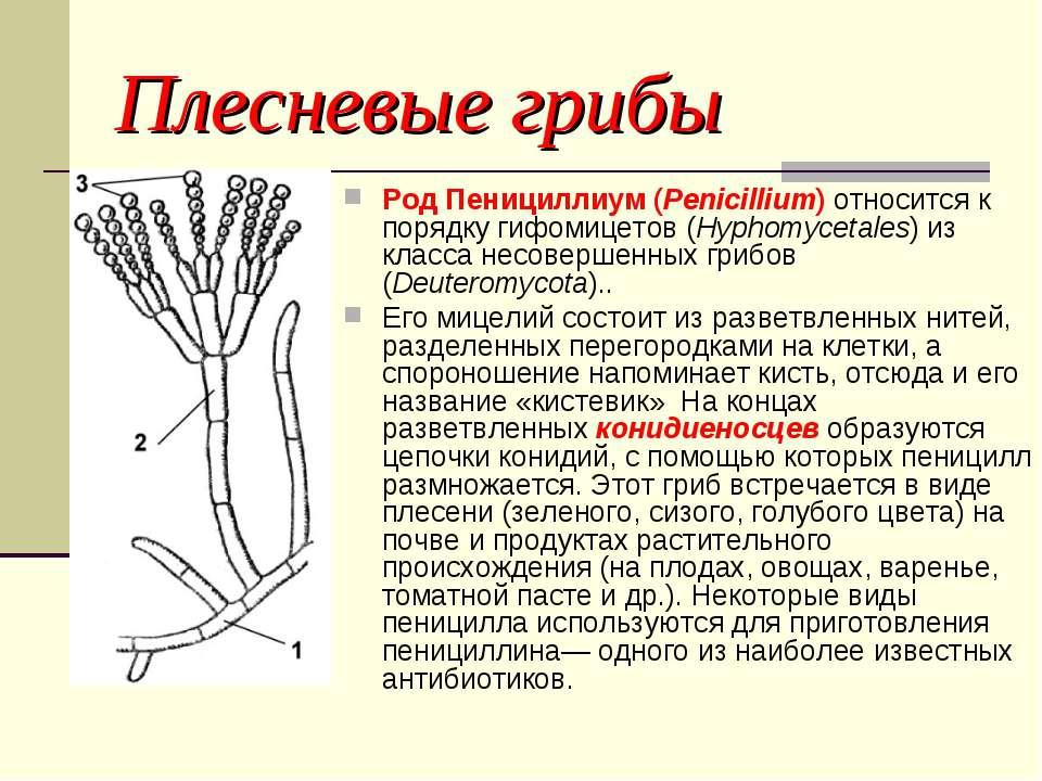 Плесневые грибы Род Пенициллиум (Penicillium) относится к порядку гифомицетов...