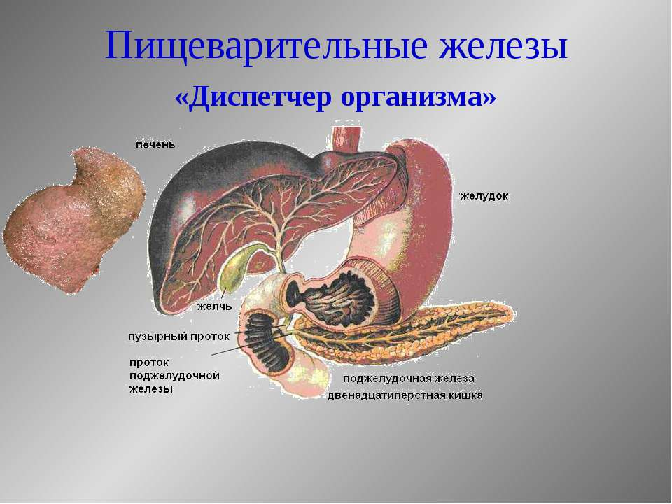Пищеварительные железы «Диспетчер организма»