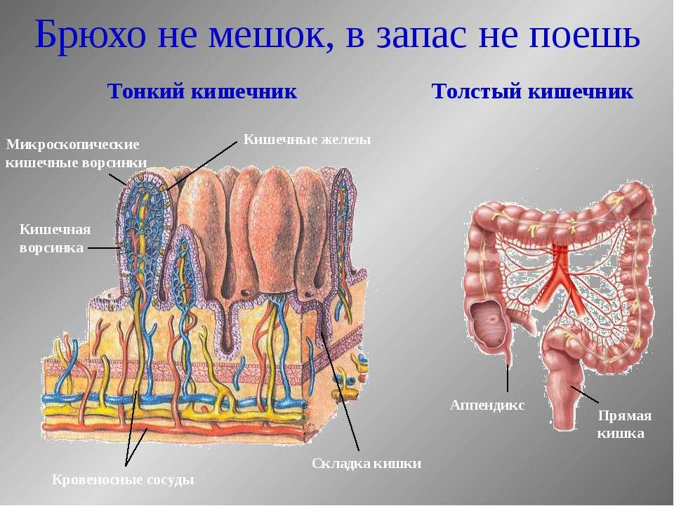 Брюхо не мешок, в запас не поешь Тонкий кишечник Толстый кишечник Аппендикс П...