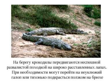 На берегу крокодилы передвигаются неспешной развалистой походкой на широко ра...