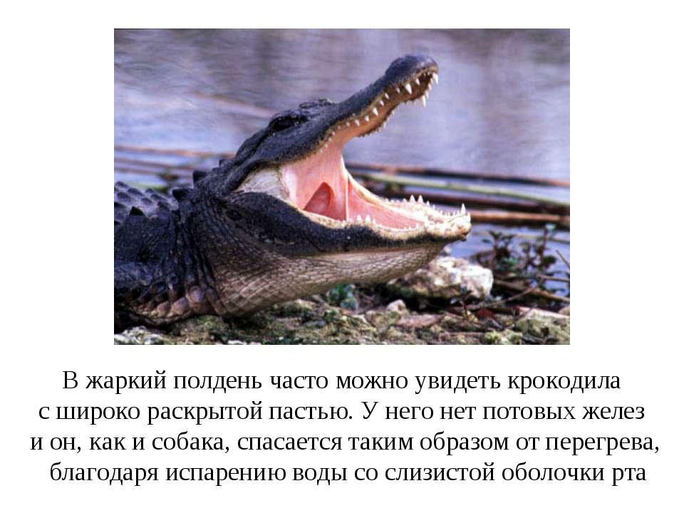 В жаркий полдень часто можно увидеть крокодила с широко раскрытой пастью. У н...