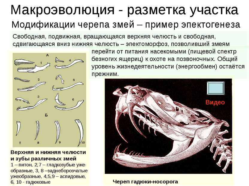 Макроэволюция - разметка участка Верхняя и нижняя челюсти и зубы различных зм...